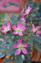 バラ苗【新苗】ロサグラウカ【ロサルブリフォリア】(Sp桃) 国産苗《KMG-KMG》0420販売