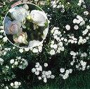 【バラ苗】 クリスタルフェアリー (Sh白) 国産苗 大苗 6号鉢植え品 ☆ 【シュラブ.半つ...
