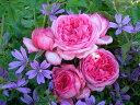 【バラ苗】 ラローズドゥモリナール (Del桃) 国産苗 大苗 6号鉢植え品 ★ 【デルバール】