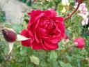 即納 【バラ苗】 ミカエル (HS赤) 国産苗 新苗 6号鉢植え品 ● 【ヘブンシリーズ】