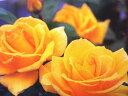 【バラ苗】 インカ (HT黄色) 国産苗 大苗 6号鉢植え品 ★ 【四季咲き.木立.大輪.ハイブ...