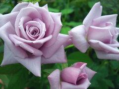 ★☆★ 【バラ苗】 つるマダムヴィオレ『つるマダムビオレ』 (Cl紫) 国産苗 大苗 6号鉢...