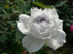 即納 【バラ苗】 ガブリエル  (HS白) 国産苗 大苗 6号鉢植え品 ★