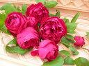 ◇【バラ苗】 ルージュピエールドゥロンサール (Ant赤) 国産苗 新苗 6号鉢植え品 ● 【ア...