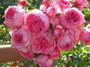 ◇【バラ苗】 ラローズドゥモリナール (Del桃) 国産苗 新苗 6号鉢植え品 ● 【デルバ...