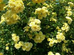 ◎●◎ 予約 【バラ苗】 もっこうばら黄色八重 【黄モッコウバラ 八重】 (Sp黄) 挿し木 …