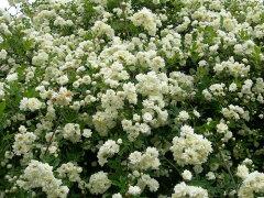 ◆◇◆【バラ苗】 白モッコウバラ 八重 (Sp白) 国産苗 新苗 ● 【オールドローズ.原種....