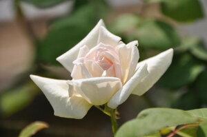 ◆◇◆【バラ苗】 パークスイエローティーセンティッドチャイナ (ClT淡黄) 国産苗 新苗 ...