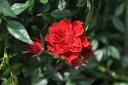 【バラ苗】 レッドロマンス (Sh赤)  国産苗 新苗 ● 【シュラブ.半つるバラ.半ツルバラ...