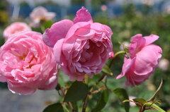 【バラ苗】 ザリーブ (中ER桃) 国産苗 大苗 6号鉢植え品 ☆ 【イングリッシュローズ】