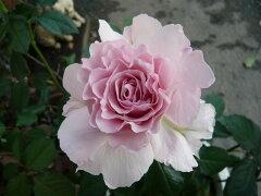 ◆◇◆【バラ苗】 ラマリエ (KB薄桃) 国産苗 新苗 ● ※6月上旬までにお届けの予約新苗