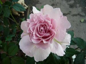 ★ワゴンセール★【バラ苗】 ラマリエ (KB薄桃) 国産苗 大苗 6号鉢植え品 ☆