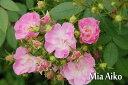 ※※※ 【バラ苗】 Mia 愛子 (FG桃)   国産苗 大苗 6号鉢植え品 ☆ 1月末までにお届け...