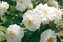 ◇◆◇ 【バラ苗】 ブライダルティアラ (FL白色) 国産苗 新苗 ● 【四季咲き.木立.中輪房...