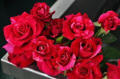 予約 【バラ苗】 クレイジートゥ  (Del絞)  国産苗 新苗 ● 【デルバール】 ※5月末まで...