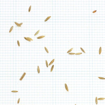 ケンタッキーブルーグラス ヌーブループラス 1kg お庭の広さ12〜15坪用 バロネス寒地型 芝生の種 多年草 発芽適温摂氏15〜25度程度です。/あす楽対応/共栄社/