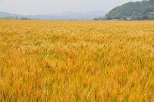 小麦(イメージ)