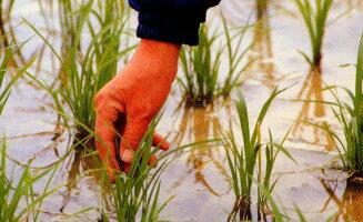岩手県産無洗米5kg特A常連のお米送料無料米江刺金札米うまい米!無洗(R)5kg×1個5キロ送料込み【2sp_120611_a】