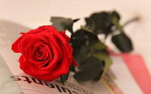 ★ポイント5倍★「なでしこJAPAN」にカズが贈ったバラ!【あす楽対応】全6色・ステム付きローズ母の日/父の日/敬老の日/ハロウィン/クリスマス/誕生日/結婚祝い/出産祝い/開業祝い/内祝い