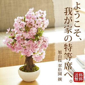 旭山桜 盆栽(桜 盆栽 bonsai ボンサイ さくら ミニ盆栽 桜盆栽 送料無料 お祝い) …