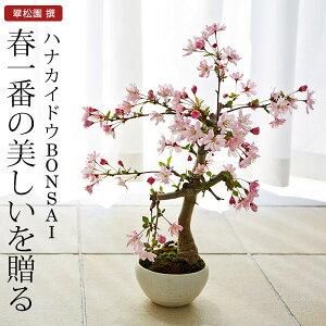 翠松園 撰 盆栽(ミニ盆栽 bonsai ボンサイ)ハナカイドウ 盆栽(ミニ盆栽 bonsai ボン...