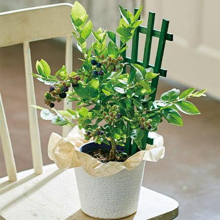 父の日 2021 早割 ギフト 贈答 プレゼント 花鉢 鉢植え 育てて食べられるブルーベリー 5号 父の日期間お届け 【...