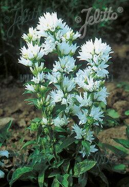 【宿根草】カンパニュラ グロメラータ アルバ (2ポット1セット)【Aグループ】CAMPANULA glomerata var. alba