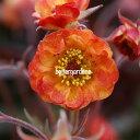 【宿根草】ゲウム アラバマスラマー Geum 'Alabama Slammer' (R) 【Aグループ】 花苗 多年草 ガーデニング 苗物 園芸 季節 花壇 シェードガーデン 耐寒性 耐暑性 セット 庭 園芸 季節 鉢植え 庭植え 和 育てやすい ハンギング 植物 おしゃれ 花 植物 切り花