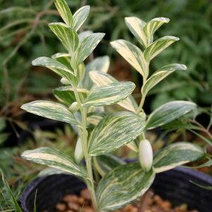 【宿根草】ヒメイズイ 流れ星【Aグループ】POLYGONATUM humile variegata 'Nagare Boshi'
