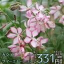 【宿根草】ガウラ サマーエモーション(2ポット1セット)【A...