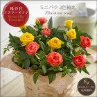 母の日プレゼント・ミニバラ2色植え