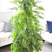 マドカズラ観葉植物