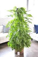観葉植物全国送料無料