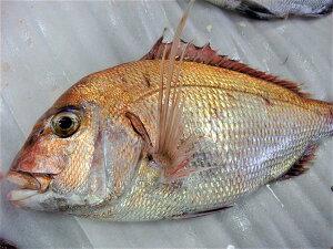 【鮮魚】瀬戸内海産天然活け〆真鯛1kg ? 岡山県産マダイ