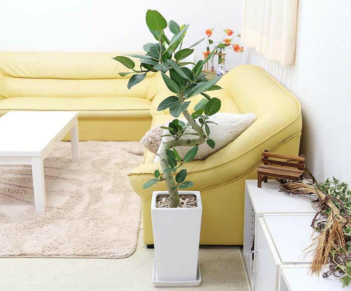 フィカス ベンガレンシス(ベルガルゴム) ホワイト陶器鉢 8号 ストレート|中型サイズの観葉植物
