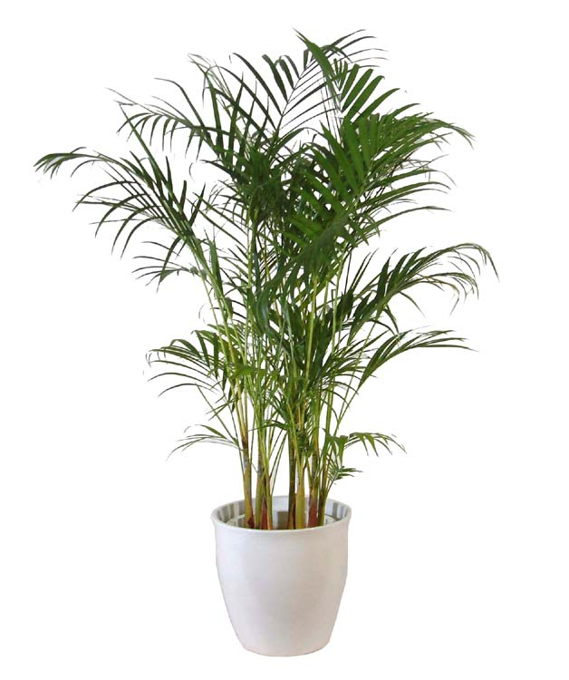 花・観葉植物, 観葉植物 8J-6
