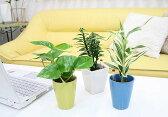 ミニ観葉植物(クルーレネオ) 3鉢セット「ハイドロカルチャー」