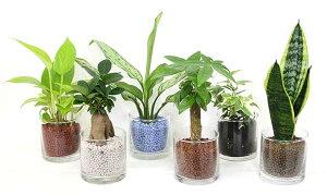 ネオコール植えミニ観葉植物(ガラス容器)3鉢セット【種類も色もよりどり選べる福袋Aセット】...
