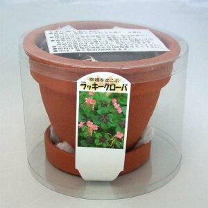 四葉のクローバー栽培セット(スモール陶器鉢セット)