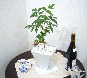 約200種以上の害虫に効果!?不思議なニームの木 スクエアホワイト鉢
