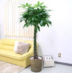 葉っぱも綺麗で育てやすいパキラは新築祝・開店祝などにも人気です♪パキラ 10号+バスケット鉢