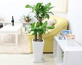 【送料無料】幸せが訪れる末広がり(税抜き)¥8888 幸福の木 7号 選べるスクエア陶器鉢 Gタイプ