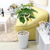【送料無料】幸せが訪れる末広がり ウンベラータ 8,888円(税抜き) ホワイト陶器鉢「丸形」まがり仕立て