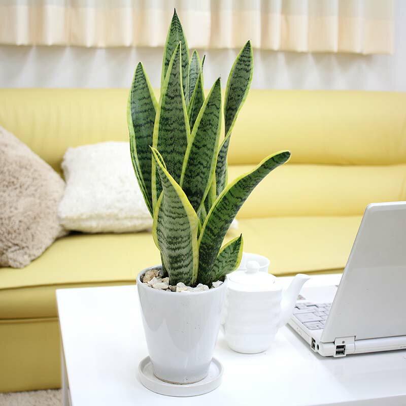 【送料無料】空気を浄化するといわれているサンスベリア・ホワイト陶器鉢 丸ロング 小型サイズの観葉植物