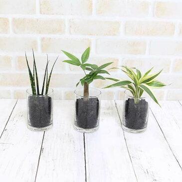 ミニ観葉植物 ECO 炭植え ガラス容器 3鉢セット
