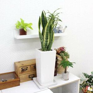 【送料無料】空気を浄化するといわれているサンスベリアの選べる陶器鉢6号「ストレート」
