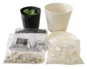 子宝草(苗)プチ栽培セット「ホワイト鉢タイプ」+天然水晶付き+アンプル1本付き