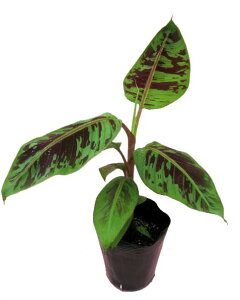 素敵な模様も楽しめます!ダークグリーンの葉に赤紫色の不規則な斑が入る美しい品種です。珍し...