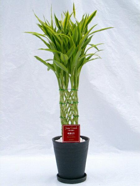 (ブラック・ホワイトの6号(6寸鉢) などと呼ばれる縁起のいい観葉植物 【smtb-s】 ラッキーバンブー 2鉢セット 2色セット) 「ミリオンバンブー」