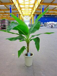 ★[送料無料]南国のトロピカルな雰囲気が漂います。★バナナの木(三尺バナナ・サンジャクバナ...